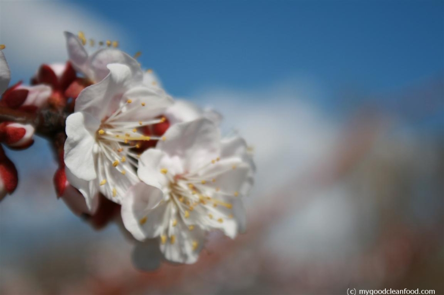 apricot blossom 2