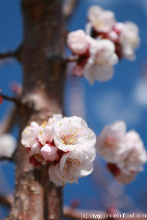 apricot blossom 3