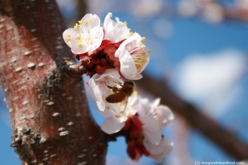 apricot blossom bee 1