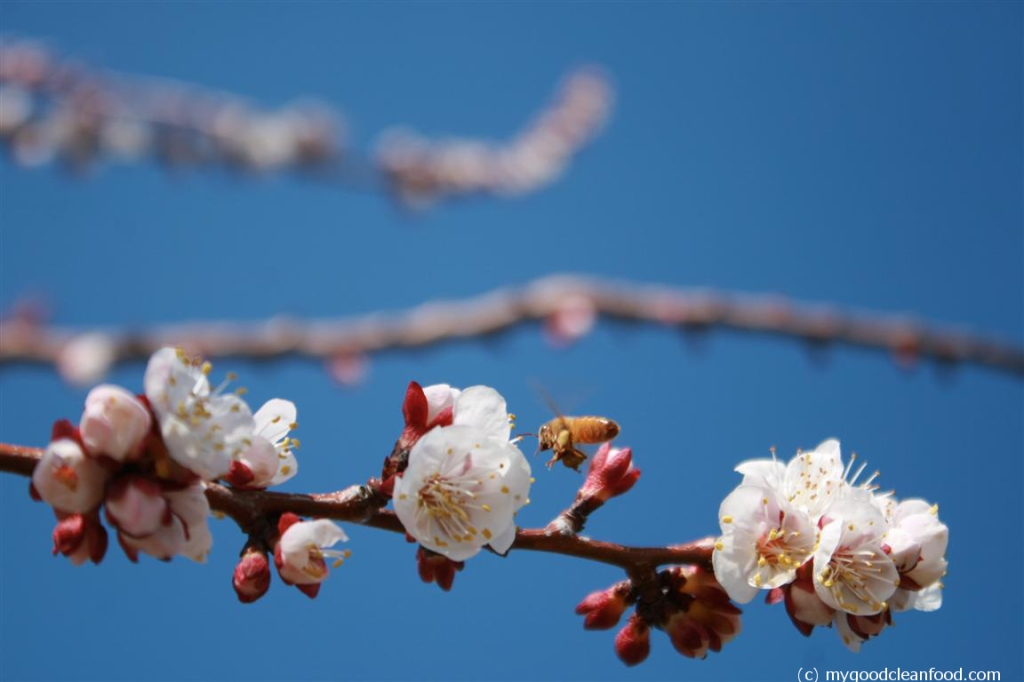 apricot blossom bee 2