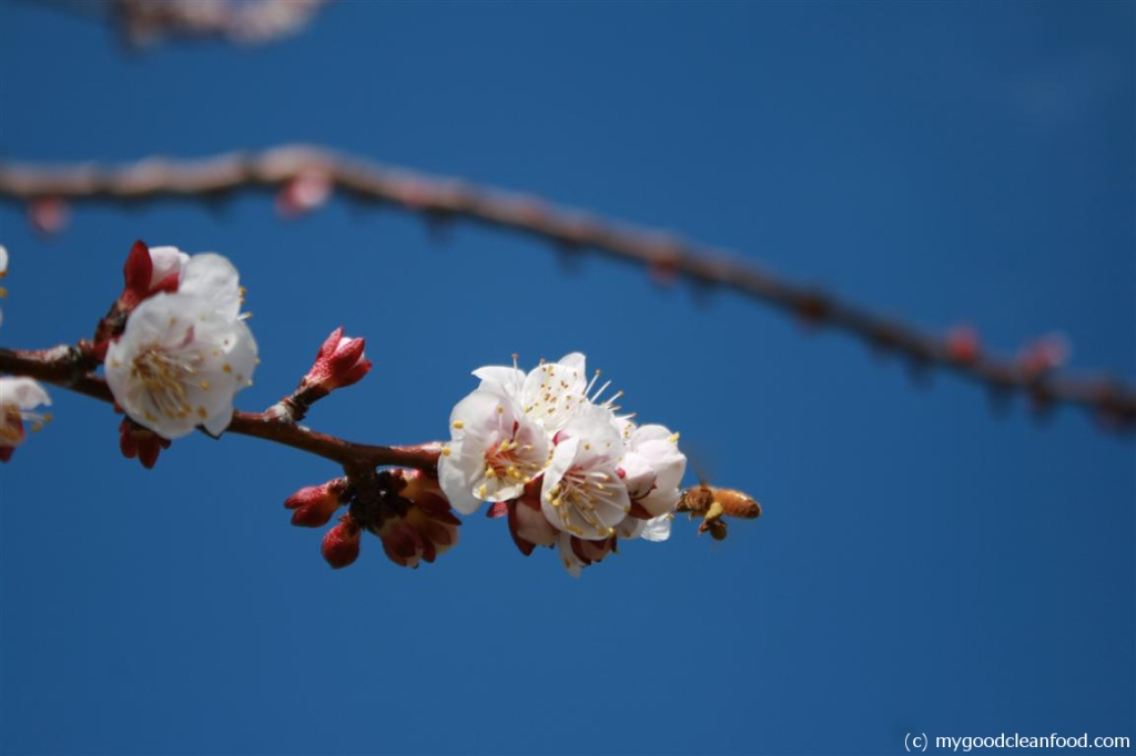 apricot blossom bee 3
