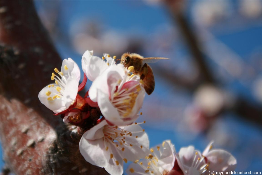 apricot blossom bee 5
